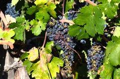 Grapes in wineyard, Napa Valley, California, USA Stock Photos