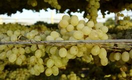 Grapes On Wire Mesh. Royalty Free Stock Photo