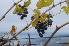 Grapes and Wire in Valpolicella. Close up of grapes with landscape of hills in Valpolicella stock image