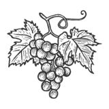 Grapes With Leaves Sketch Engraving Vector Royalty Free Stock Images