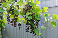 Grapes in the yard Royalty Free Stock Photo