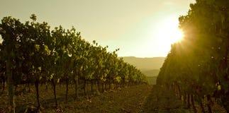 Grapesvine at sunset stock photo