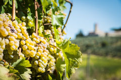 Grapevin Tuscany Stock Photography