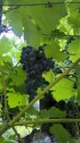 grapevine Imagem de Stock Royalty Free
