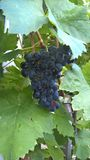 grapevine Стоковая Фотография RF