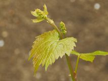 grapevine Стоковое фото RF
