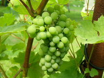 Grapevine. Photo of the young grapevine stock images