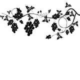 Grapevine Stock Image