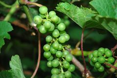Grapevine. Bunches of green grapes growing on a grapevine Royalty Free Stock Photo