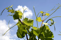 Free Grapevine Royalty Free Stock Photo - 13083955
