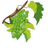 Grapevine. Isolated on white background Stock Photography