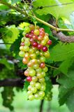 Grapevine Stock Photography