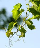 Grapevine. Leaves close up on a blue sky background stock photo