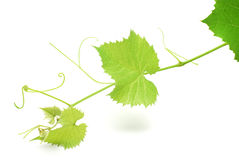 Grapevine. Isolated on white background royalty free stock image