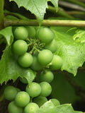 Grapevine. Wild grapevine fruit royalty free stock images
