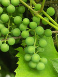 Grapevine. Wild grapevine fruit stock photo