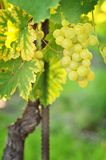 Grapevine Royalty Free Stock Photos