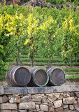 Grapevine Royalty Free Stock Photography