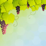 Grapevine. On abstract background Stock Photography
