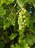 Grapevine Royalty Free Stock Photos