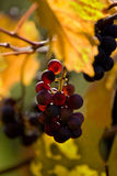 Grapevine. A closeup of Cabernet grapevine, Sonoma, California royalty free stock photo