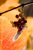 Grapevine. A closeup of Cabernet grapevine, Sonoma, California stock photography