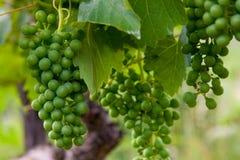Grapevine  Stock Photos