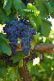 Grapevine. The grapevine with a cluster of grapes Stock Photography