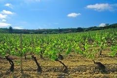 The Grapevine. Lush vineyard in Rioja region of Spain Stock Photo