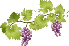 Free Grapevine Royalty Free Stock Image - 36384576