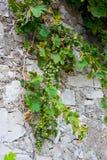 grapevine Imagem de Stock