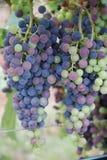 grapevine Стоковые Изображения RF