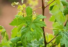 grapevine Fotografia de Stock