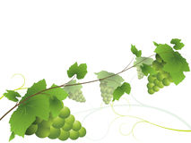 Grapevine. With bunches of grapes.  All on separate layers for easy editability Stock Photography