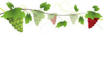 Grapevine. With bunches of grapes.  All on separate layers for easy editability Royalty Free Stock Image