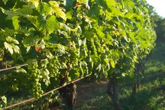 Grapevine Royalty Free Stock Images