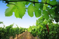 Grapevine. Plants in Napa Valley, California, USA stock images