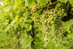 grapevine Стоковая Фотография