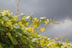 grapevine Стоковые Изображения