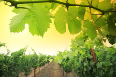 Free Grapevine Stock Images - 9678994