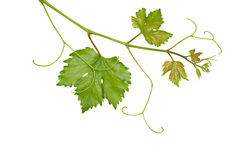 Grapevine. Isolated on white background stock photo