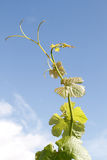 Grapevine against blue summer sky Stock Photo