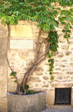 Grapevine and ancient wall Stock Photos