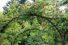 Grapevine Arbor with Climbing Roses. Arching Grapevine Arbor with Climbing Roses Royalty Free Stock Image