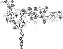 Grapevine 1. Artistical grapevine drawing with leaves and fruit Stock Photography
