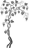 Grapevine 2. Artistical grapevine drawing with leaves and fruit Stock Image