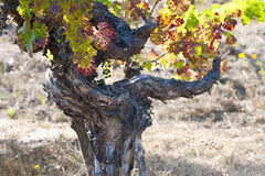 Grapevine in autumn Stock Image