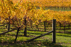Grapevine in autumn colors in vineyard Royalty Free Stock Photo