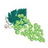 Grapevine background vector illustration. Grapevine background twig with leaves vector illustration Stock Image