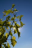 Grapevine in backlighting Stock Photography
